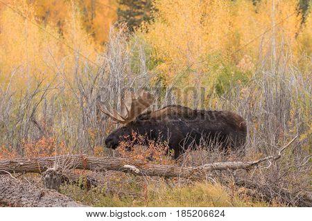a big bull Shiras moose during the fall rut in Wyoming