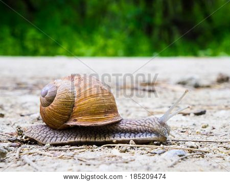 Snail on the way detail snail in the nature