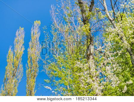 Two high lombardy poplars in the blue sky.