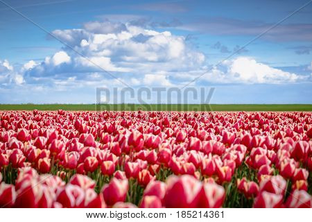 Horticulture and arable crops with different types and colors with tulips in the Netherlands. A typical Dutch stock foot with flowering flowers and Dutch clouds during spring