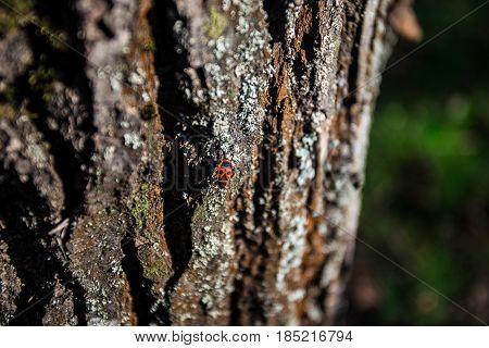 Beetle soldier on the bark of a tree in spring