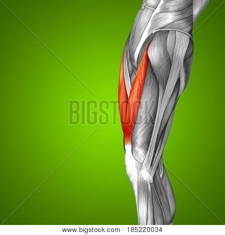 Concept conceptual 3D illustration fit strong front upper leg human anatomy, anatomical muscle isolated green background for body medical health tendon foot and biological gym fitness muscular system