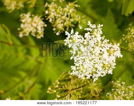 Beautiful White Domesticated Cow Parsley In Garden In Spring