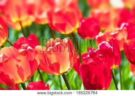 Macro view of red colorful tulip flowers with selective focus and bokeh effect