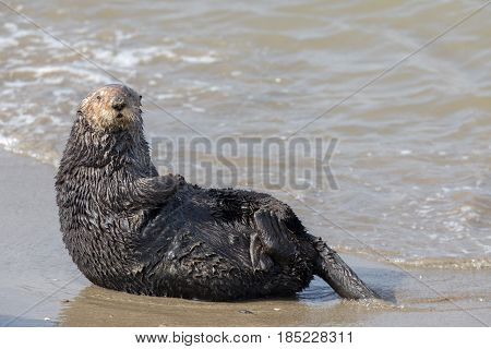 Alert Sea Otter in Moss Landing State Beach. Monterey Bay, California, USA