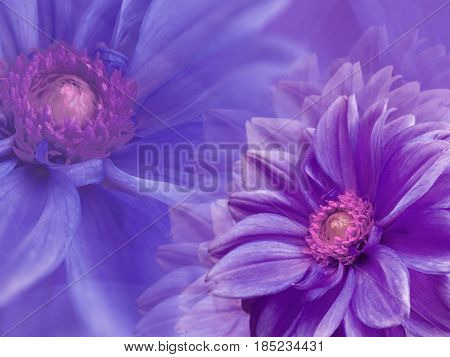dahlia purple flowers on blue-purple blurred background . Closeup. Bright floral composition card for the holiday. Nature.