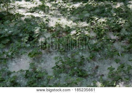 White Poplar Fruit
