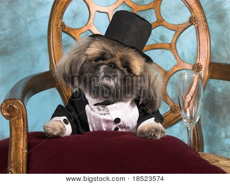 Pekingese dog in tuxedo celebrating event