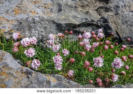 Small purple flowers growing on a hole between rocks on the cliffs in Doolins Bay, The Burren, County Clare, Ireland