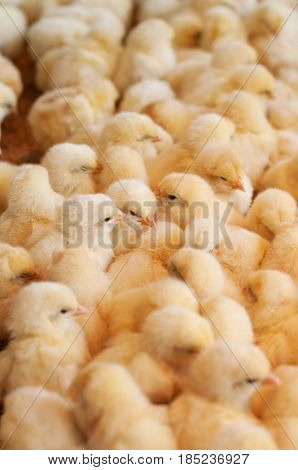 Young yellow chickens on a poultry farm.