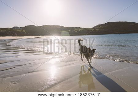 Dog running at Achmelvich beach, Scotland