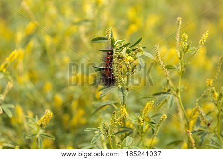 Tiger Moth Caterpillar Arctia Caja
