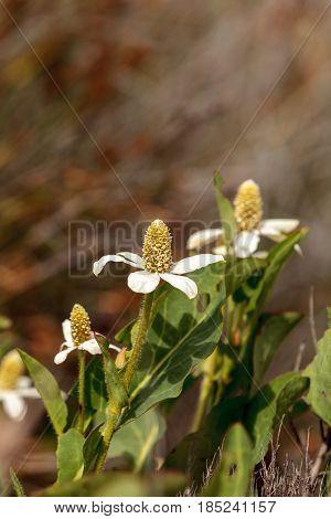 White flower on Yerba mansa plant Anemopsis californica blooms in spring at the Bolsa Chica wetlands in Huntington Beach California