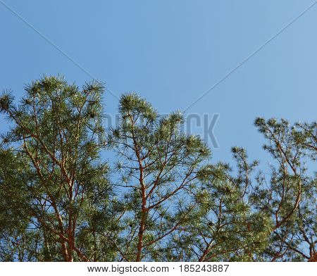 conifer landscape pine needle spring wind sun pine autumn branches cloud branch tree sky nature green blue leaf trees forest summer leaves  plant
