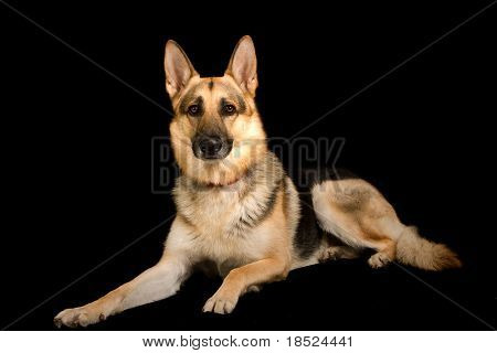 pure breed german shepherd, studio shot over black