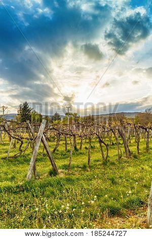 Sunset Over Grape Vineyard