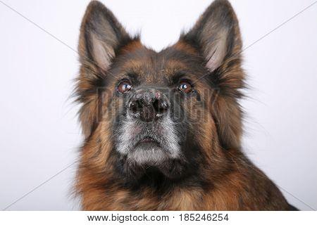 long haired german shepherd Dog Alfie's Portrait on Black & white Backround