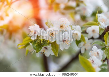 Flowers of plum tree in spring when fell out the unexpectedly last snow