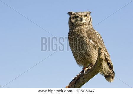 reticulated eagle owl over blue sky with copy space