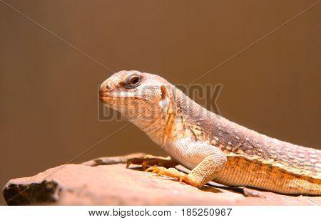 iguana reptile green animal pet nature background