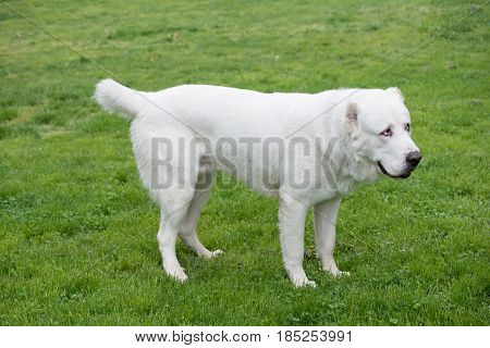 Central Asian Shepherd Dog. Alabai - An Ancient Breed From The Regions Of Central Asia