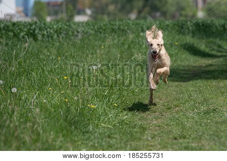 Taigan is a member of the family of Eastern Sighthounds. The Taigan is a very rare dog breed reported about few hundred worldwide. Selective focus on the dog