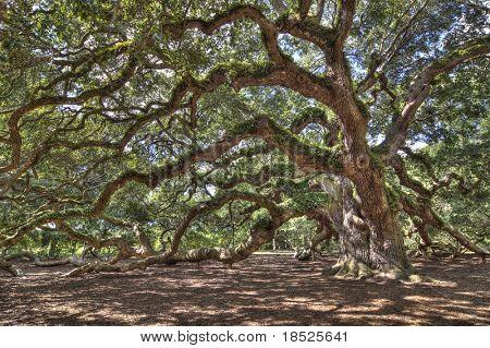 ancient live oak tree in south carolina, hdr image