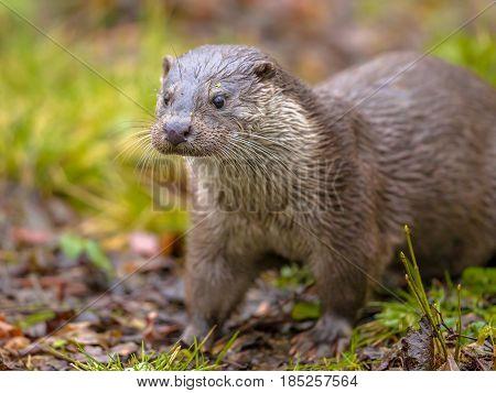 European Otter On River Bank