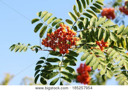 Rowan tree on sky background in summer day