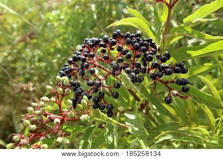 Sambucus nigra fruits close up, elder fruits