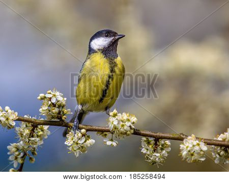Great Tit In Blossom