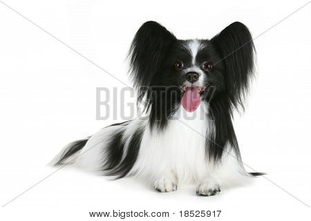 Papillon breed dog on a white background poster