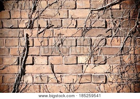 The detail of a rustic wall of staggered and broken bricks with dried branches of a climbing plant.