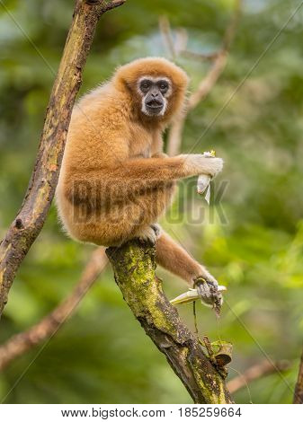 Lar Gibbon Eating Banana On Branch In Rainforest Jungle
