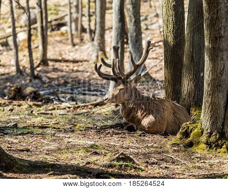 The elk, or wapiti is one of the largest species within the deer family, seen resting in a forest in Quebec Canada.