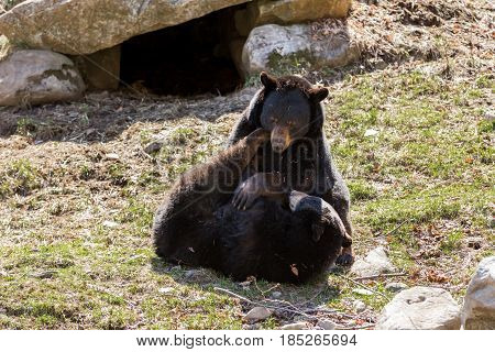 Black bears fighting after coming out in the sun after the long winter hibernation.