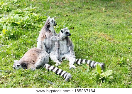 Group of Ring-tailed Lemurs in the grass