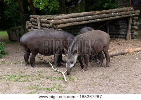 Group of Brazilian Tapirs eating wood outside