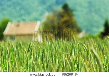 Early spring wheat field and house on background