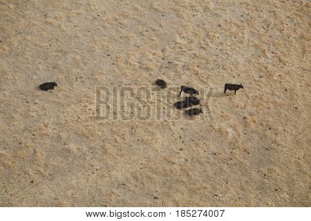 Black cattle grazing aerial view