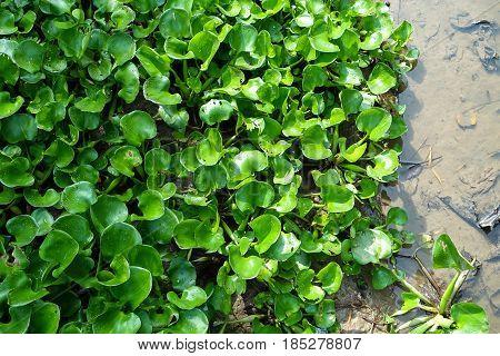 Water hyacinth, Eichhornia crassipes, aquatic plant of the Pontederiaceae family originating in tropical and subtropical Vietnam