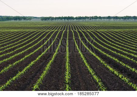 Field with rows of young corn. Rural landscape