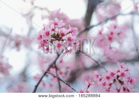 Beautiful wild himalayan cherry flower ( Prunus cerasoides ) , The tree flowers in autumn and winter.