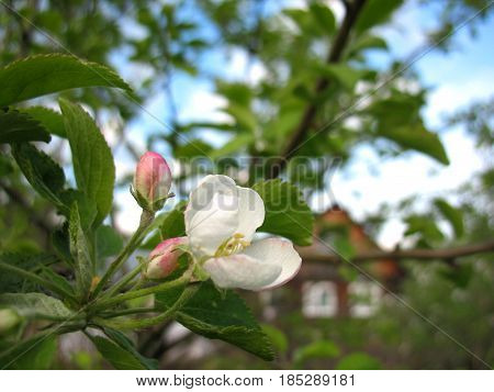 This is spring blossoming of apple tree
