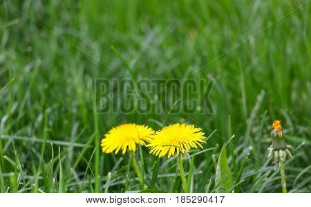 Two Dandelion Flowers On A Grass
