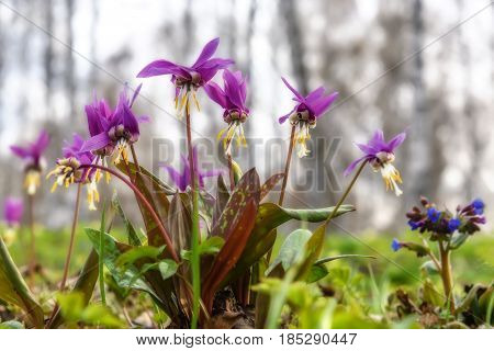 Beautiful spring floral background with burgundy delicate flowers Erythronium sibiricum in grass close-up