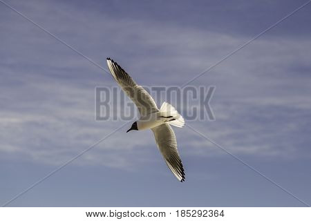 A Black-headed Gull Flying with spread wings.