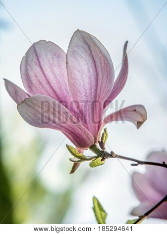 Closeup of Magnolia tree flower in full blossom