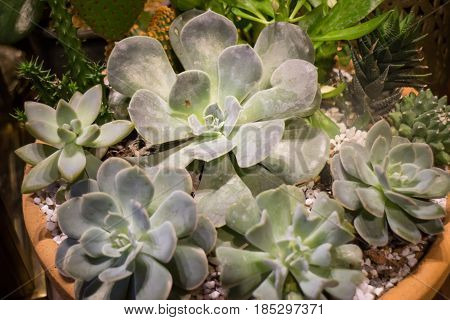 Miniature Succulent Plants Pot Up Close stock photo
