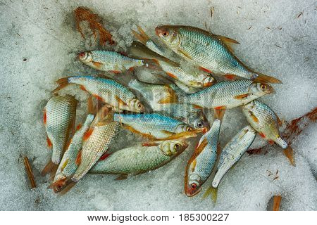 A lot of small fish on snow, winter catch, toned image